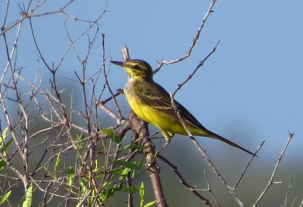 Probable Western Yellow Wagtail - race lutea. We welcome comments on this individual! Photo: John Graff