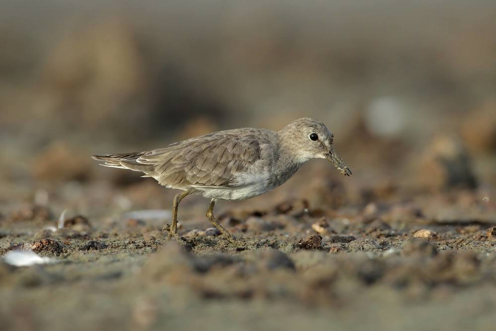 A muddy-billed Temminck's Stint! An Australian first found by Clare and Grant Morton. Photo: Wildlife Images (http://www.wildlifeimages.com.au/)