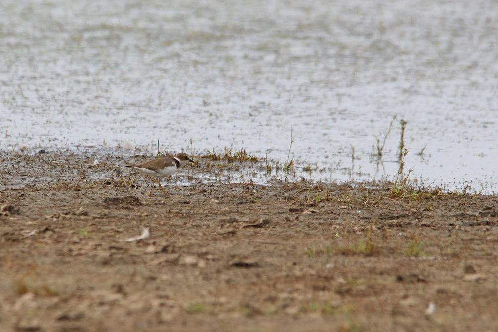 The first Little Ringed Plover of the season, at Taylors Lagoon. Photo: Ross Jones