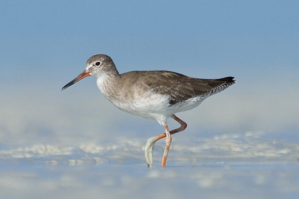 A Common Redshank out on the Roebuck Bay mudflats. Photo: Nigel Jackett