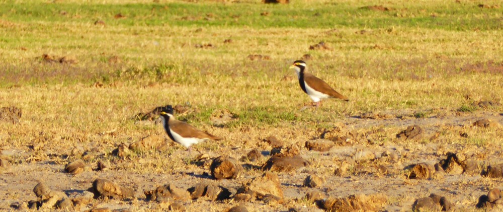 Two Banded Lapwings were seen in July at Rat Poison Tank on Roebuck Plains Station. Photo: John Graff