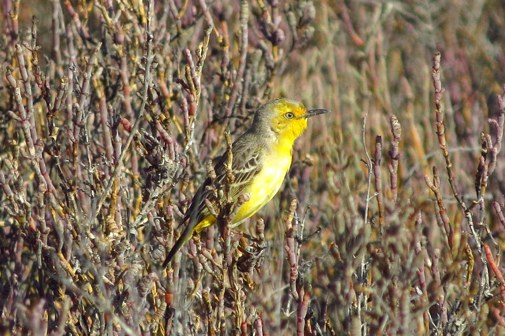 A male Yellow Chat peers from the samphire of Kidney Bean Claypan. Photo: John Graff