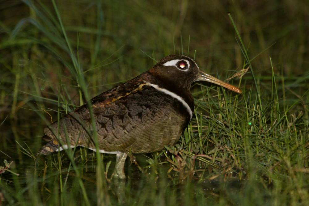 Pair of Australian Painted Snipe on Roebuck Plains