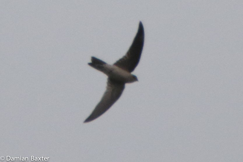 A possible Himalayan Swiftlet photographed near Town Beach during the passing of Tropical Low. Photo: Damian Baxter
