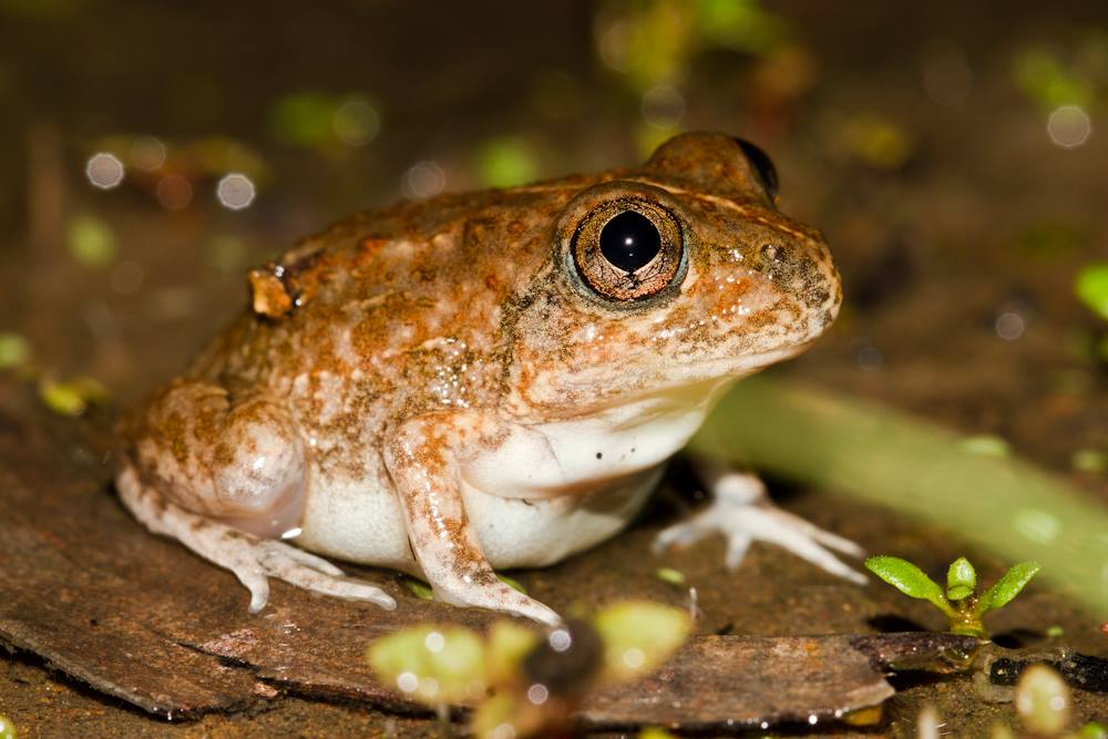 Hidden-ear Frog (Cyclorana cryptotis). Photo: Nigel Jackett
