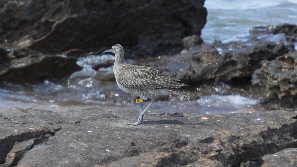 Satellite-tagged Whimbrel 'JX'. Photo: Jack Winterbottom