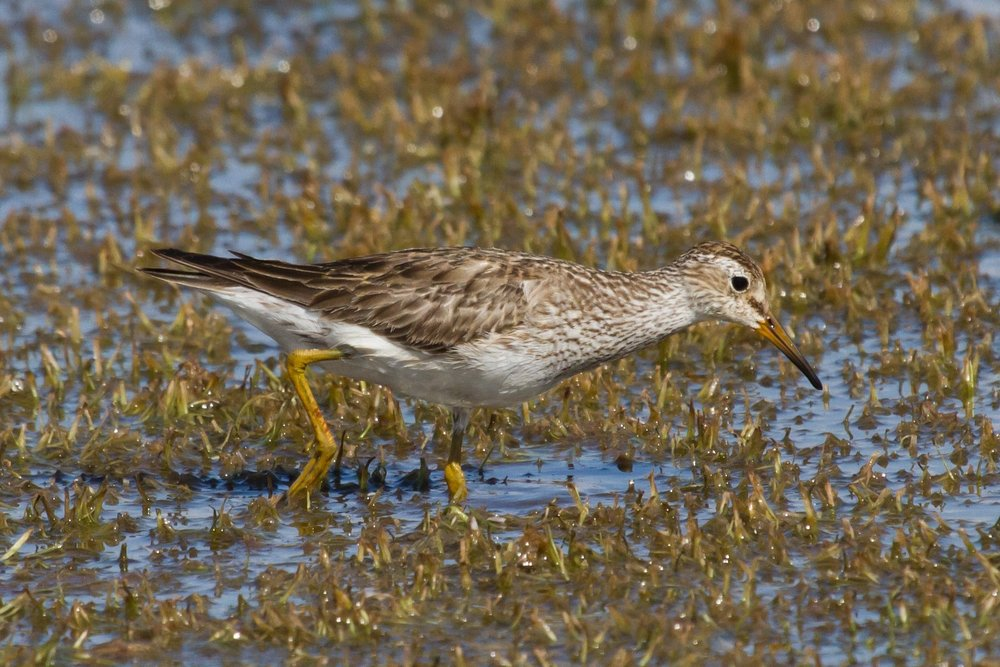 Pectoral Sandpiper at Taylors Lagoon. Photo: Nigel Jackett