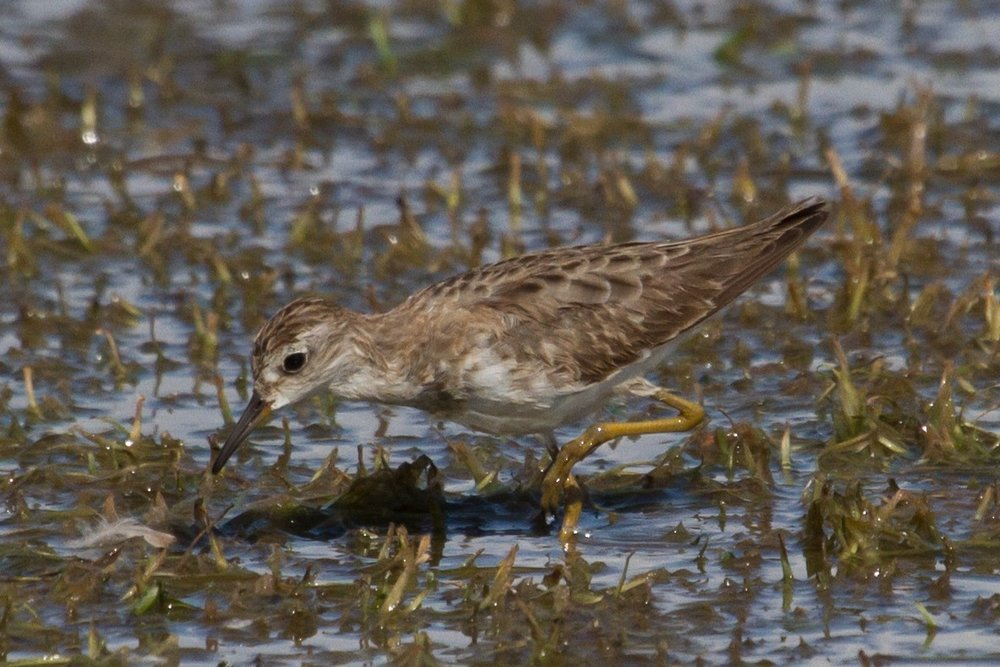 Long-toed Stint at Taylors Lagoon. Photo: Nigel Jackett