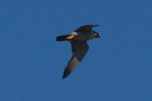 Peregrine Falcon, likely of the migratory race  calidus  at   Lake Eda. Photo: Nigel Jackett