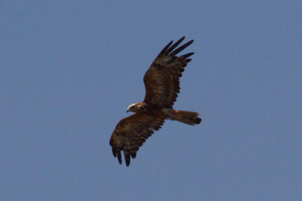Square-tailed Kite along Manari Road. Photo: Nigel Jackett