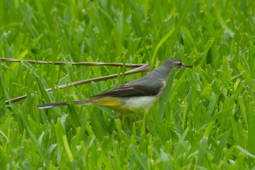 Grey Wagtail found by Anne-Maree Burgoine at the Habitat Resort. Photo: Nigel Jackett