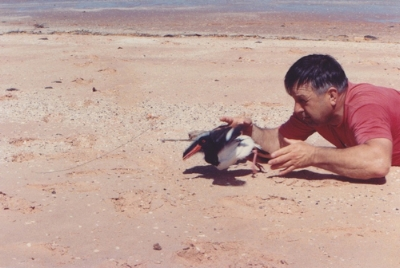 Dr. Clive Minton releasing Australian Pied Oystercatcher after banding 1991