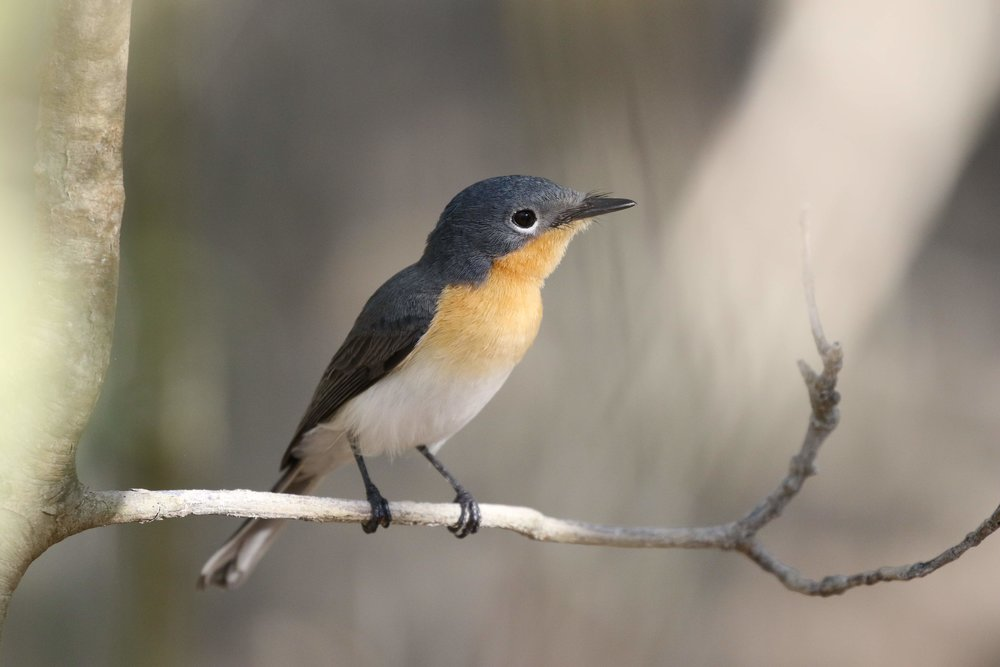 Broad-billed Flycatcher at Little Crab Creek. Photo: Andy Robinson