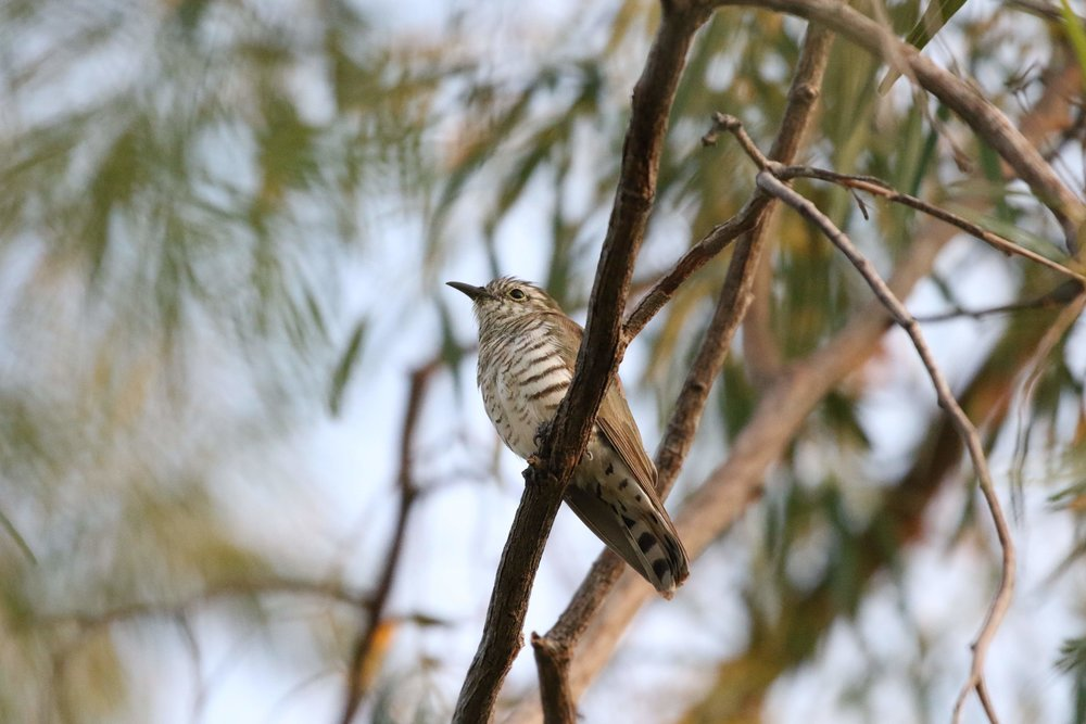Little Bronze-Cuckoo at BBO. Photo: Andy Robinson