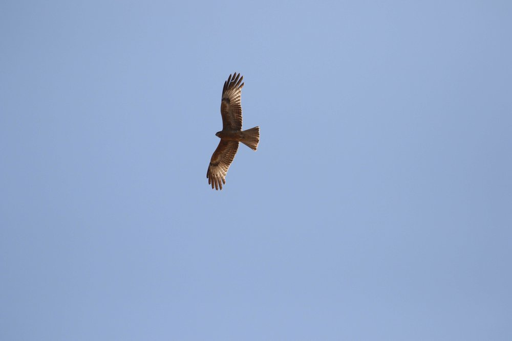 Square-tailed Kite in Broome highlighted the final day of the March course! Photo: Andy Robinson