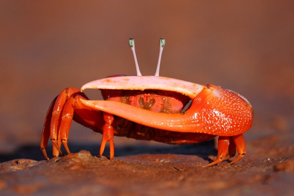 A male Flame-backed Fiddler Crab. (Photo: Ric Else)
