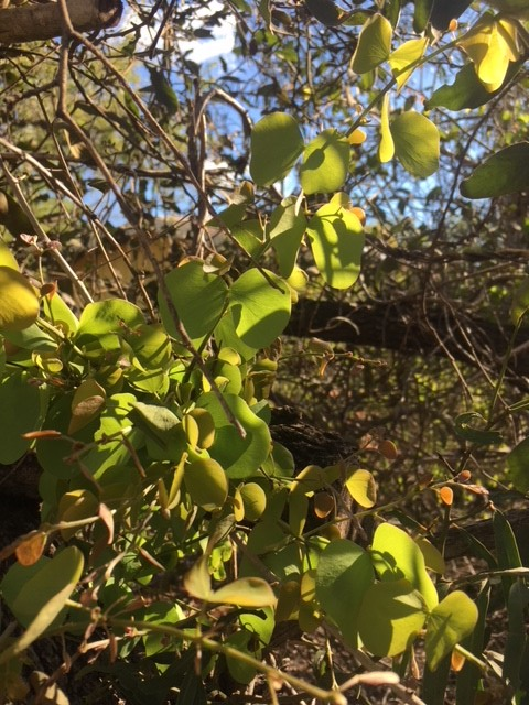 Fresh growth on a Jigal Tree