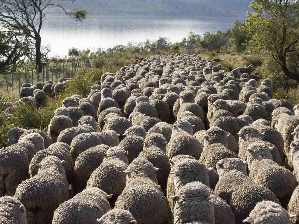 moving ewes.jpg