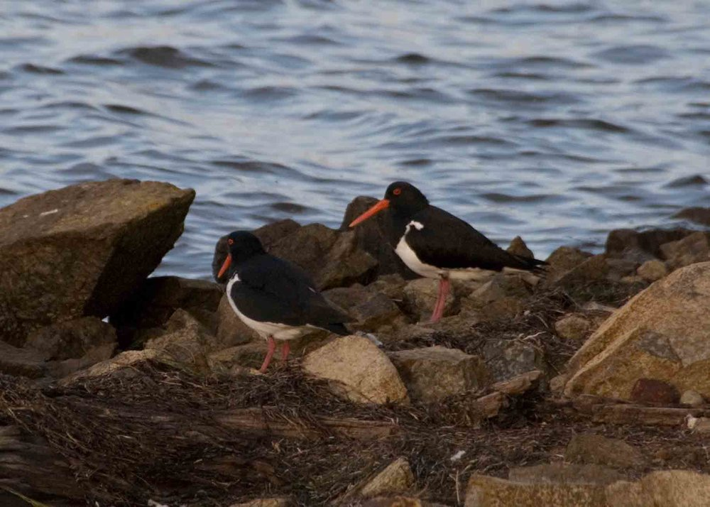 oyster catchers long point.jpg