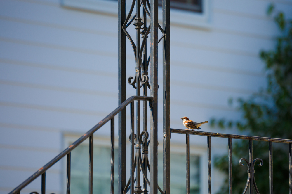 As we walked around, Chelsea and I could hear way more birds than we could see. On our way back from the park we saw a few birds flying above and so we stopped to watch where they were going. This little guy landed on a railing outside one of our neighbors houses, and I was able to get a shot off before he took off again.