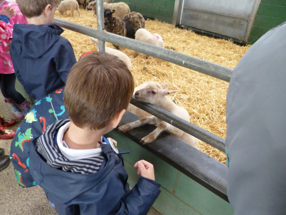 Inquisitive lamb!