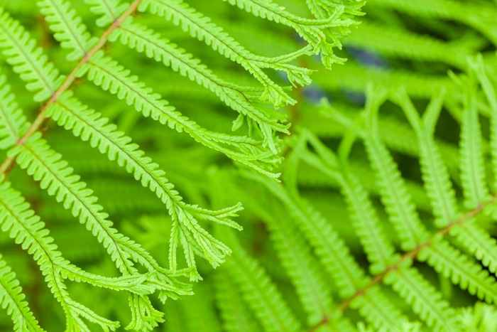 Ferns in The Floral Marquee - Hampton Court Flower Show 2016 - Katie Spicer Photography