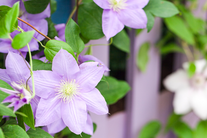 Clematis in The Rose Marquee - Hampton Court Flower Show 2016 - Katie Spicer Photography