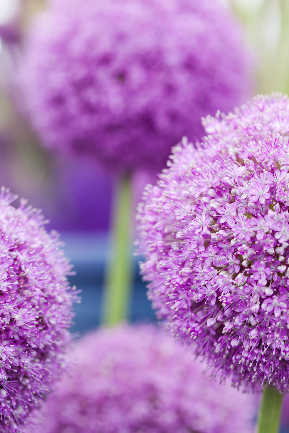 Alliums in The Floral Marquee - Hampton Court Flower Show 2016 - Katie Spicer Photography