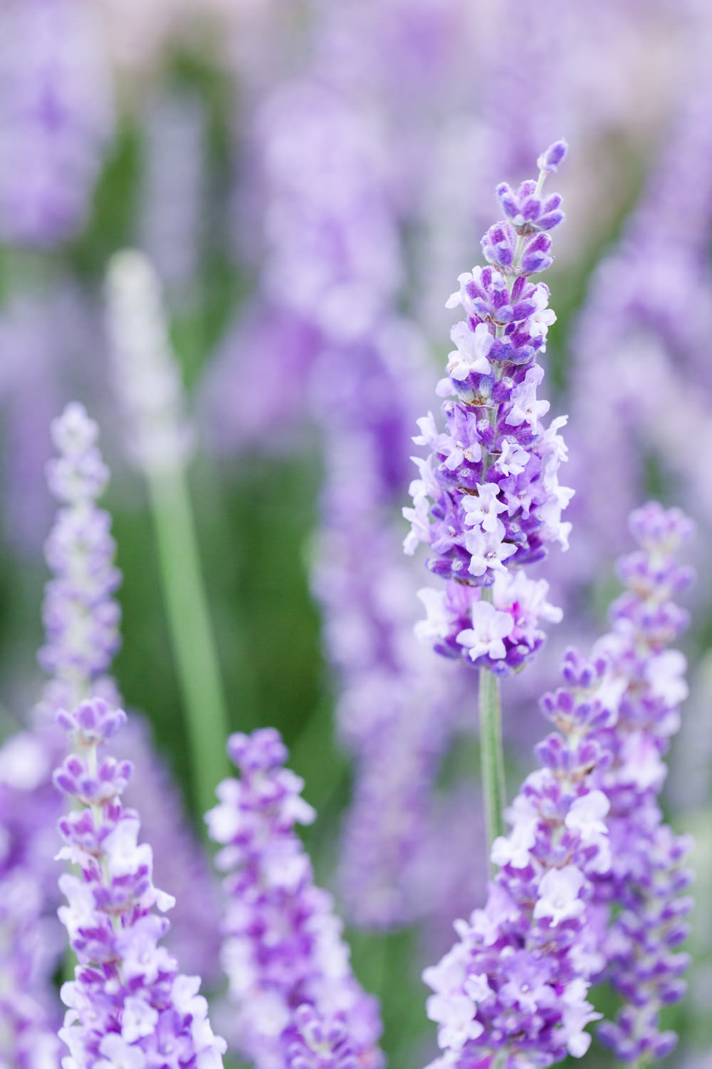 Lavender in The Floral Marquee - Hampton Court Flower Show 2016 - Katie Spicer Photography