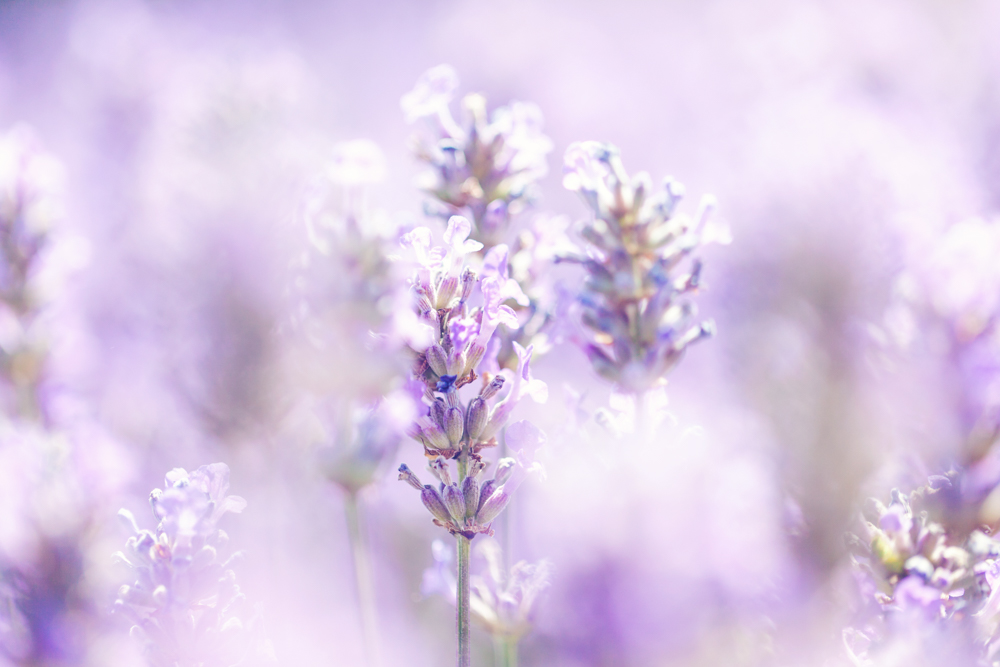 Lavender at Cotswold Lavender Farm, Snowshill