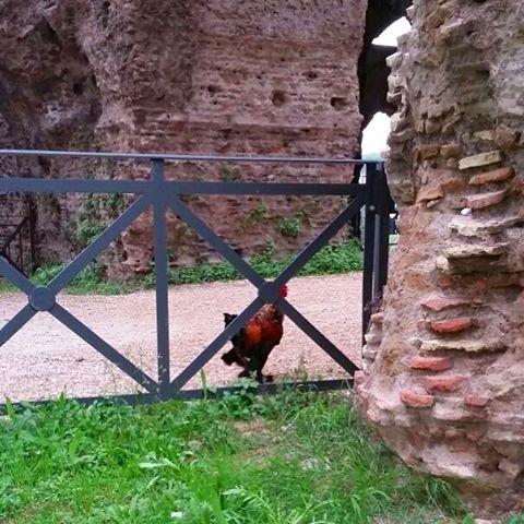 È tornato Galileo! 🎉 Avvistato questa mattina nei pressi delle Arcate Severiane, la mascotte della mostra ha trovato la strada di casa ed è rientrato nel 'pollaio-sputnik' in compagnia delle altre galline. Ringraziamo tutti coloro che si sono prodigati per il suo ritrovamento! 🏠🐓 #partibiromanihil