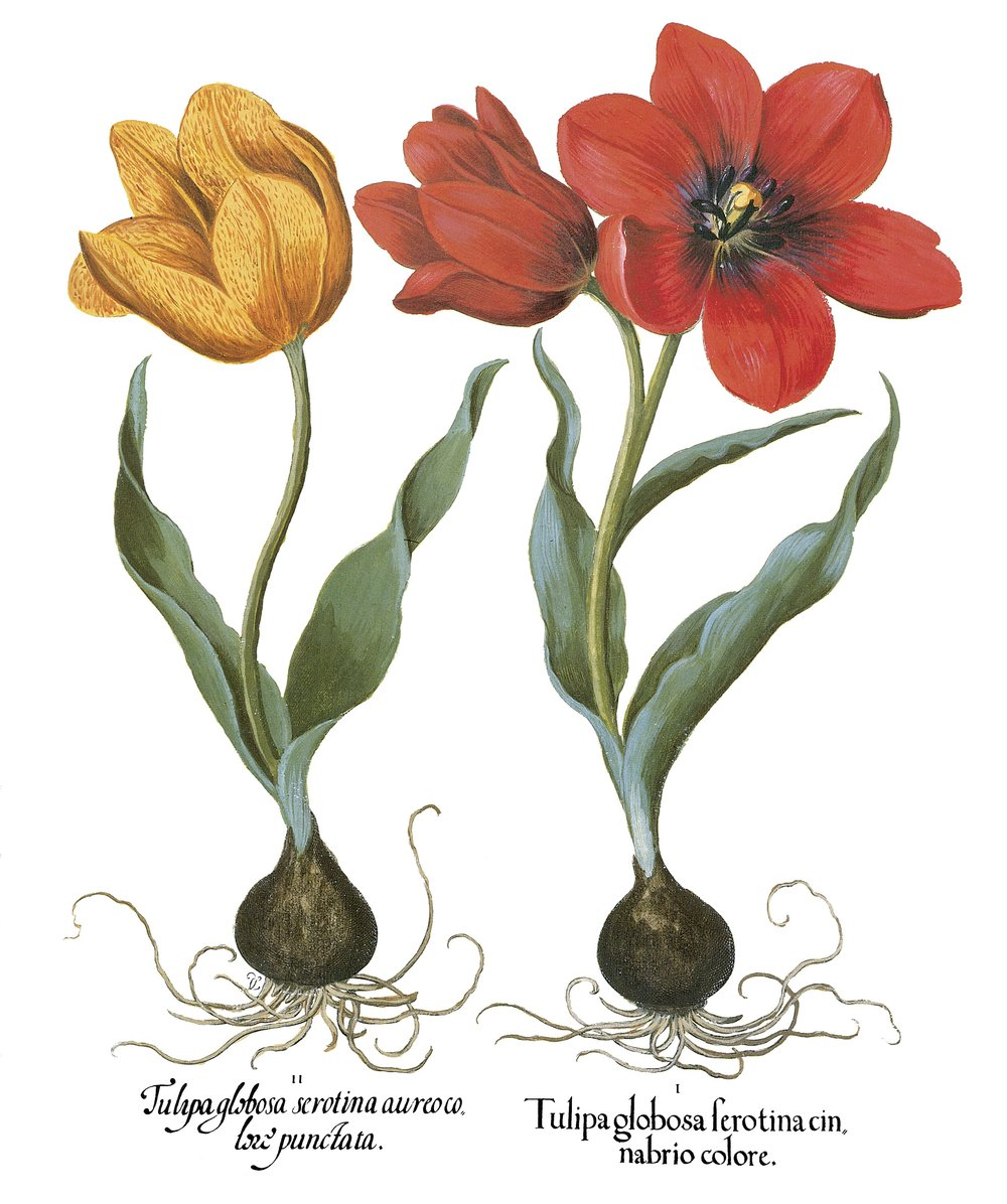 Tulips.KonMar.JPG