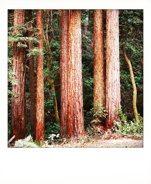 A photograph ancient redwood trees, old enough that their tops reach far out of frame.