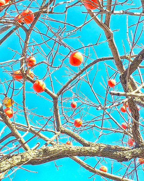 Bare tree branches with oranges agains a bright blue sky.