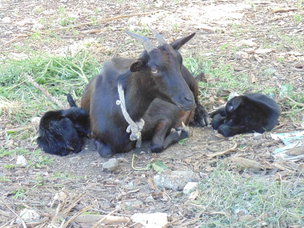 Goat Farm & Agriculture
