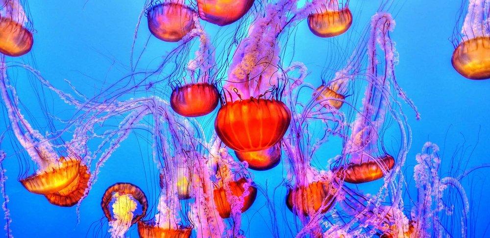 jellyfish-931714.jpg
