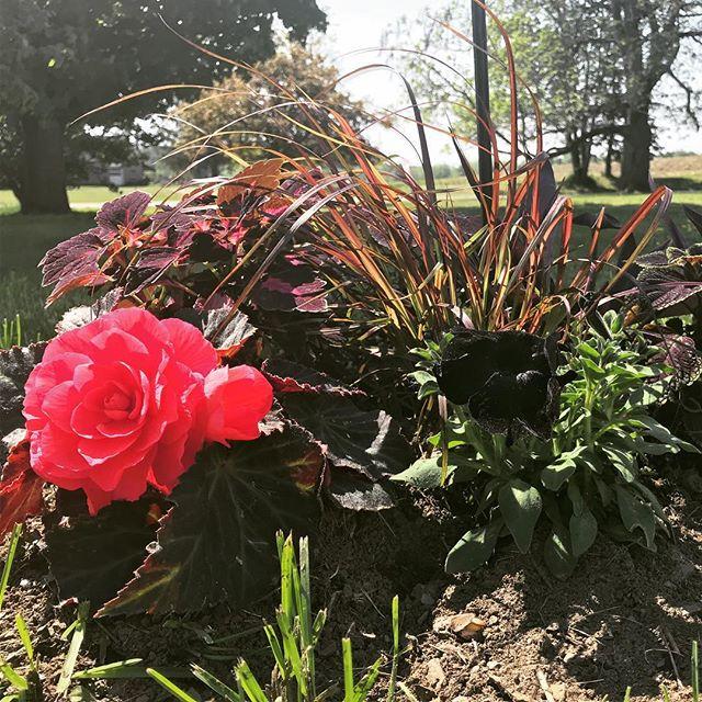 #blackpetunias #crazytuniablackmamba #colorblaze #velveteen #rubrum #garden #handmelonfarm