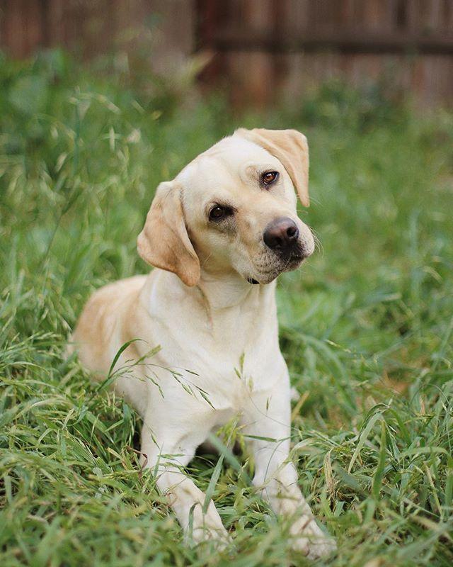 Older puppy, same head-tilt! Love this little chunker!