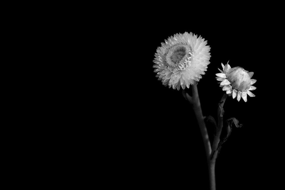 Straw_Flower.jpg