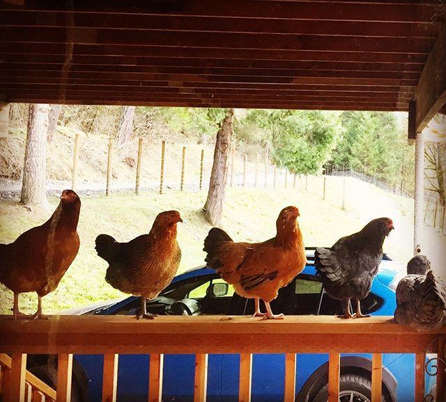 The chicks dig me. #MyFanClub #writingretreat #PachamamaFarm #kitchenview