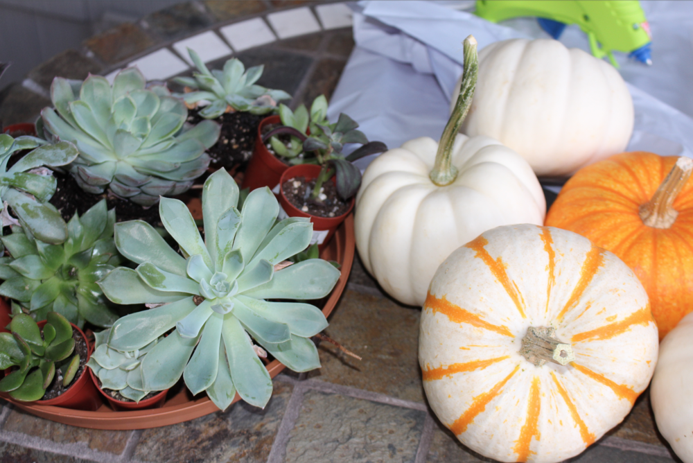 All you need to gather for this project:  Pumpkins (any size, any color), Succulents (small as you can find), scissors and a hot glue gun.