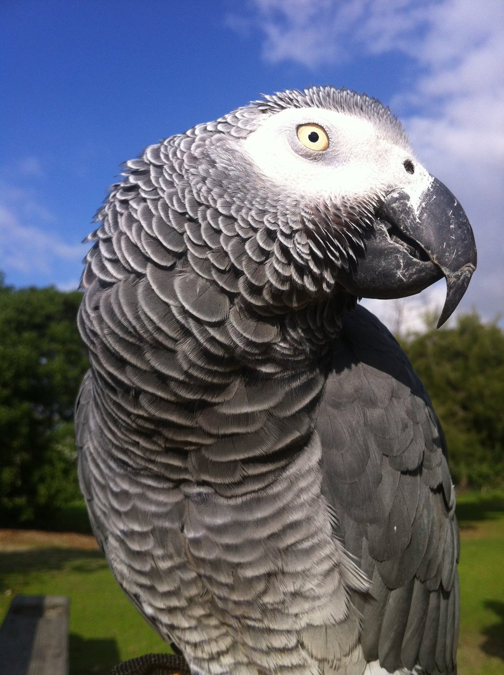 val-westover-photography-african-gray-parrot