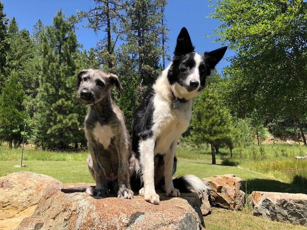 Irish-wolfhound-bordercollie