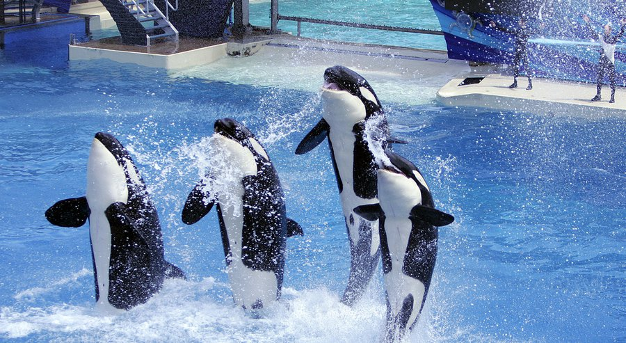 An orca performance at SeaWorld