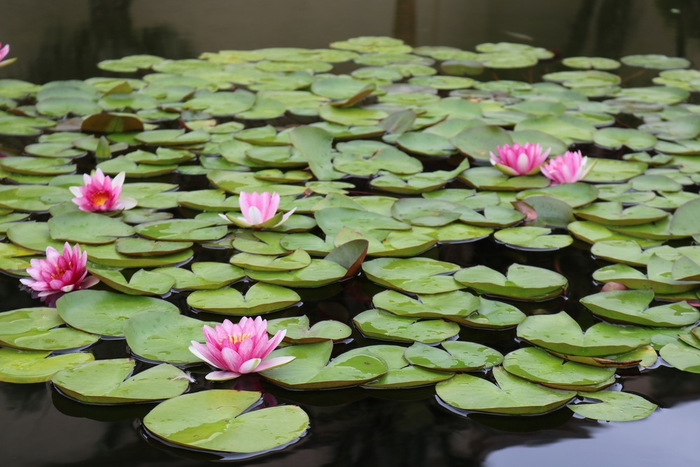 lily-pads-balboa-park