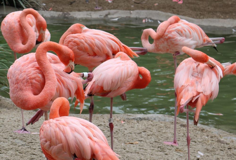 flamingos-san-diego-zoo-balboa-park