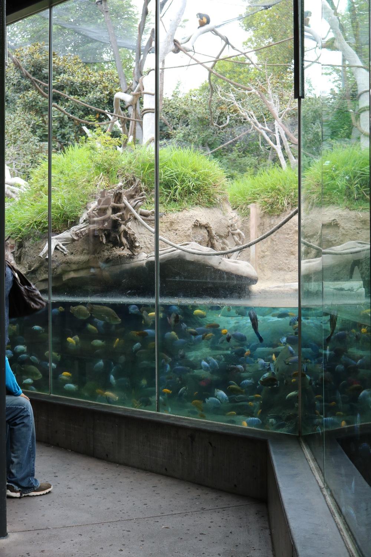cichlids-hippo-san-diego-zoo