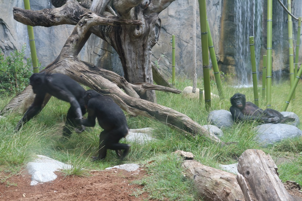 chimps-san-diego-zoo