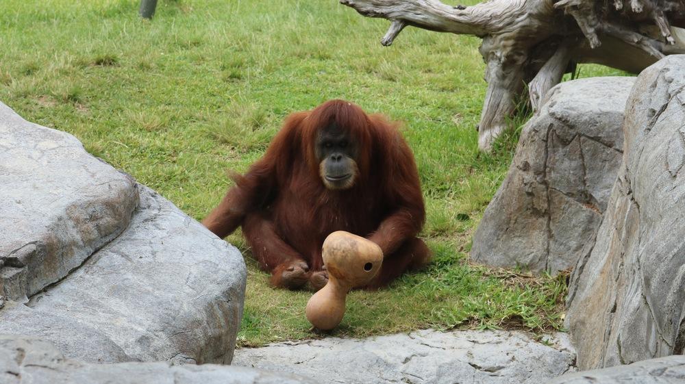 playful-orangutan-san-diego-zoo