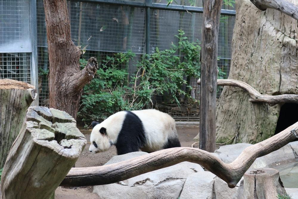 panda-bear-san-diego-zoo